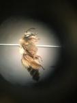 wilde bijen (6).jpg