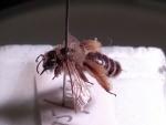 Wilde bijen Berx Peter (7).jpg